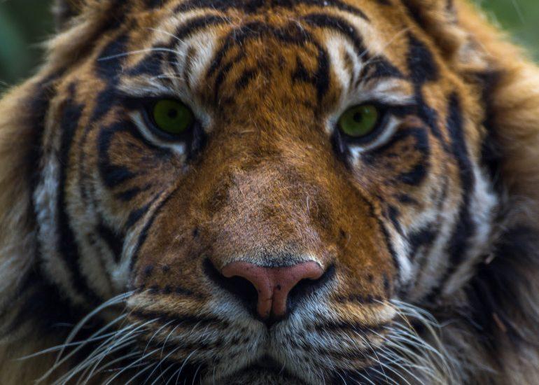 Close-up Tijger