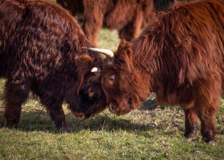 Stoeiende Schotse Hooglanders