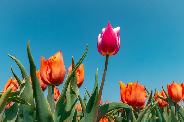 De uitstekende tulp