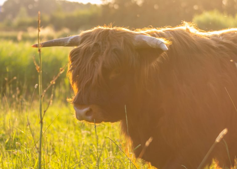 Schotse Hooglander in het gouden uurtje