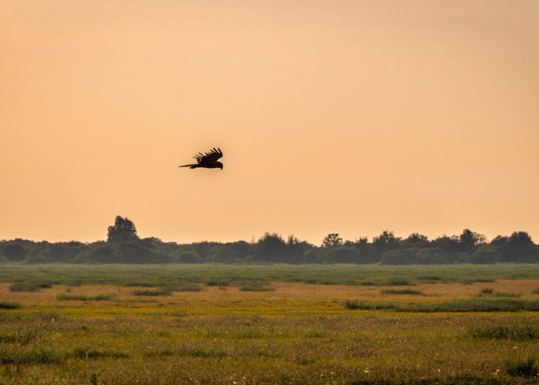 Roofvogel boven het veld