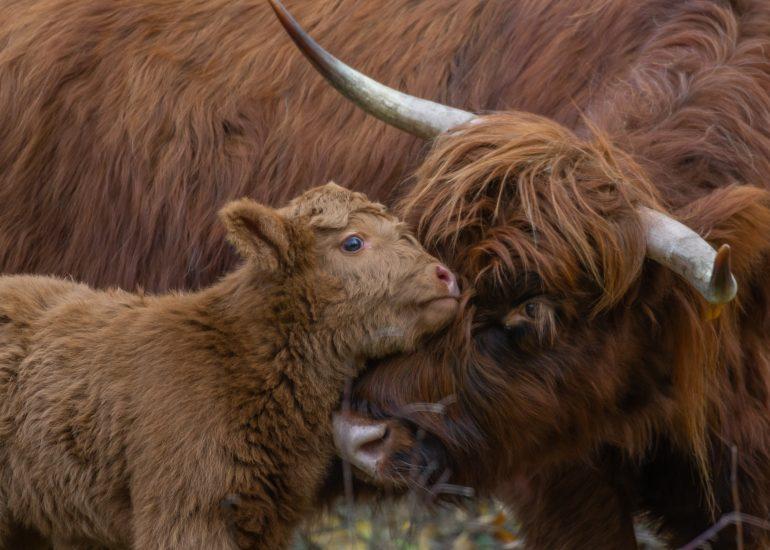Baby en mama Schotse Hooglander