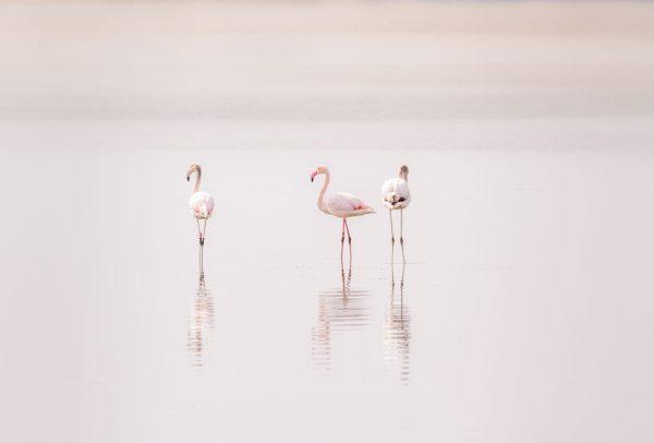 Flamingo's op Goeree-Overflakkee
