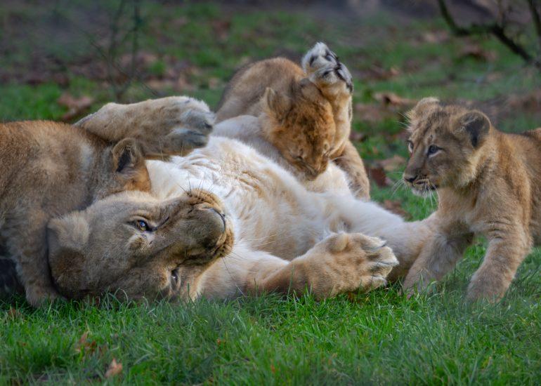 Mama leeuw speelt met welpjes