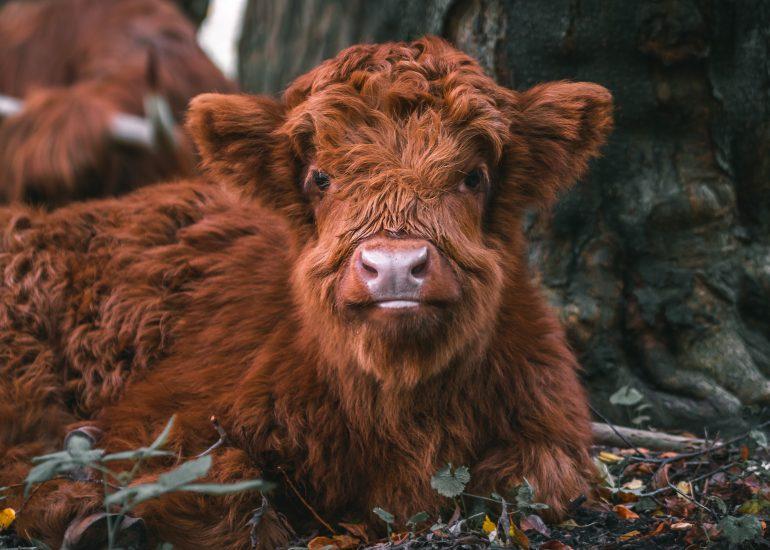 Baby Schotse Hooglander op het Eiland van Brienenoord