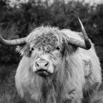 Black and white Schotse Hooglander