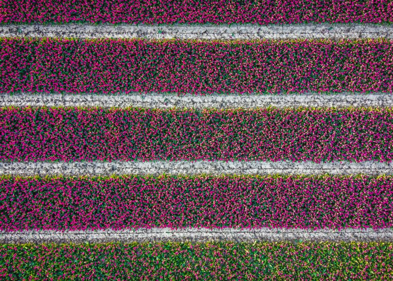 Tulpenvlag