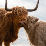 Schotse Hooglander duo