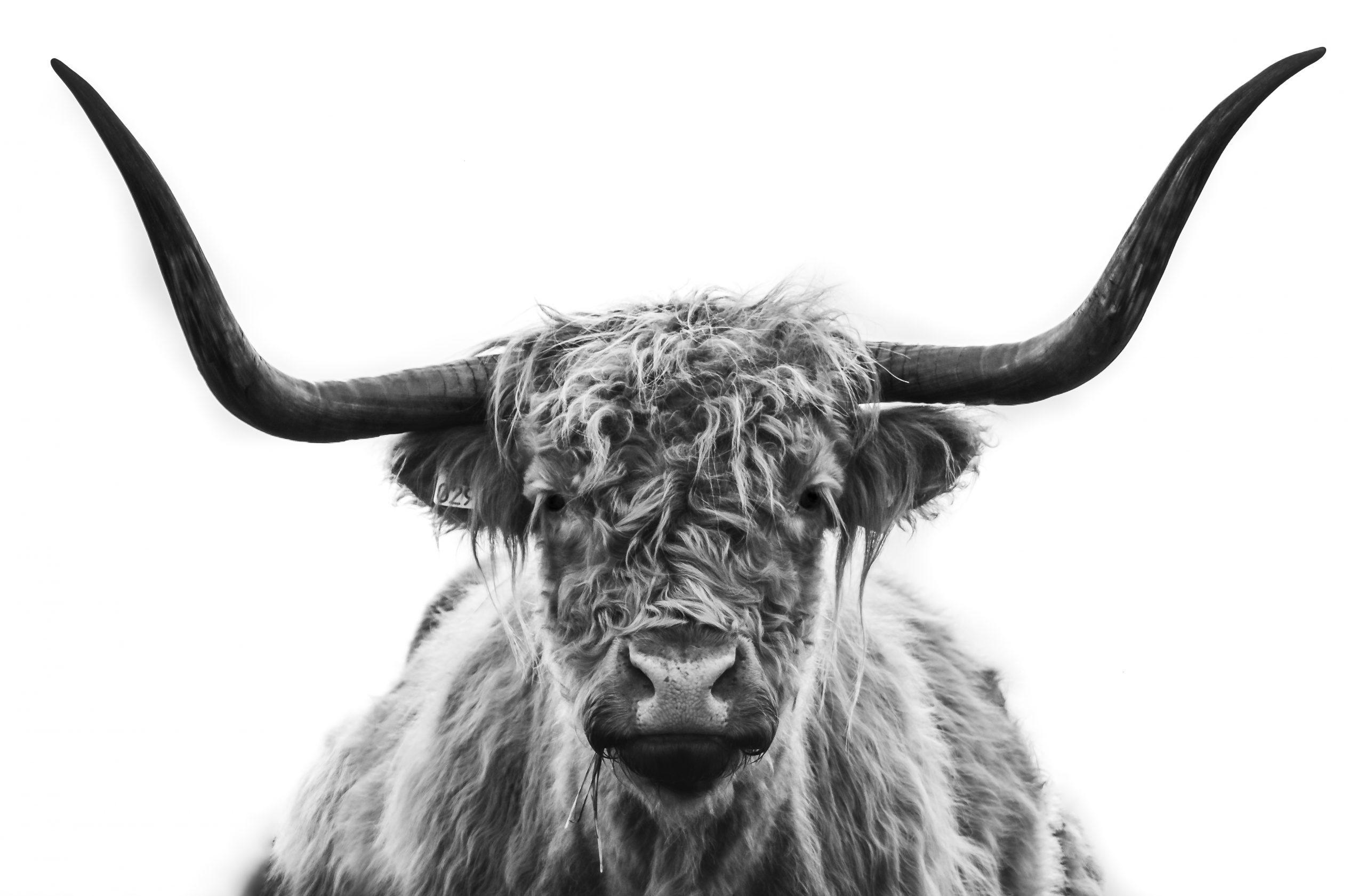 Zwart / Wit Schotse Hooglander