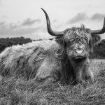 Imposante Schotse Hooglander (zwart/wit)