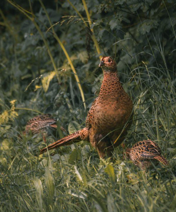 Vrouwtjes fazant