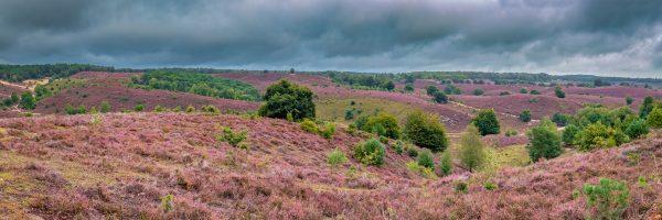 Panorama foto van de paarse heide op de Posbank