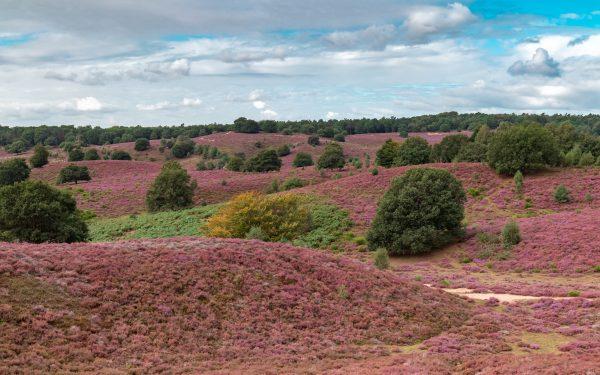 Paarse Heide op de Posbank
