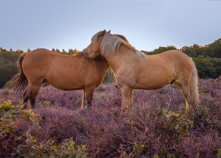 Knuffelende paarden tussen de paarse heide