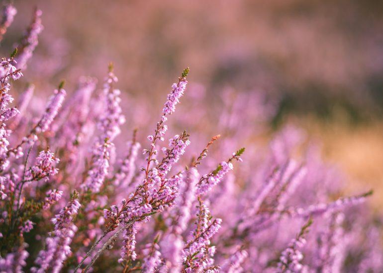 Bloeiende paarse heide