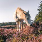 Een wild paard op de heide
