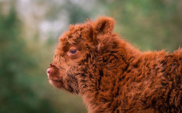 Baby Schotse Hooglander koe