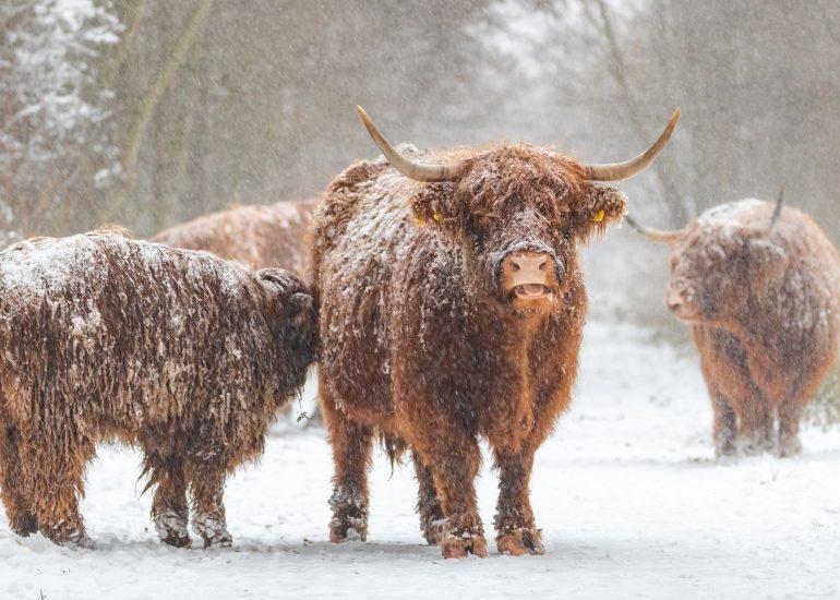 Kudde Schotse Hooglander in de sneeuw