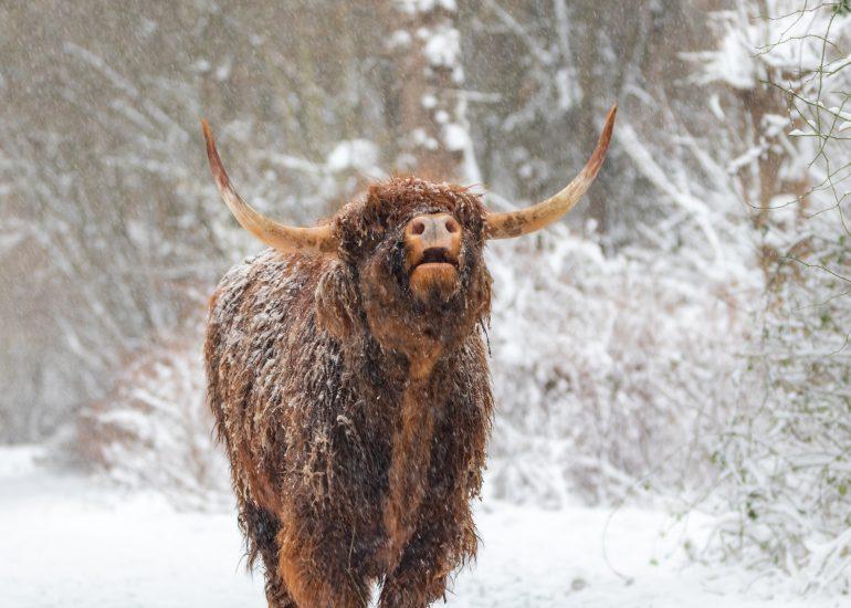 Schotse Hooglander geniet van de sneeuw