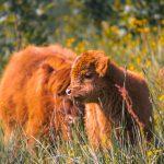 Baby koe met mama koe tussen het gras